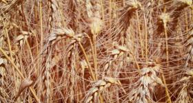 Високи добиви от пшеница въпреки трудната година в района на Русе